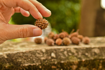 Dry pine seeds in woman hand, dry pine cones