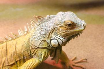 Green iguana (Iguana iguana), close-up photo