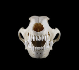 Skull of dog breed the fox terrier front view isolated on a black background. Focus on fangs.