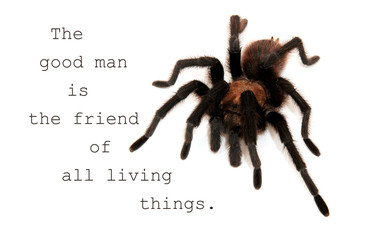 The good man is the friend of all living things - quote with an image of an Oklahoma Brown Tarantula