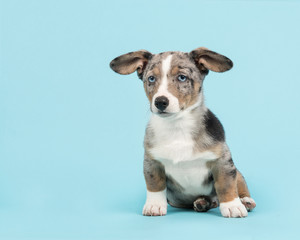 Cute blue merle welsh corgi puppy sitting on a blue background