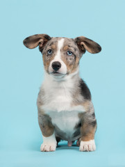 Welsh corgi puppy with blue eyes and hanging ears sitting on a blue background