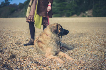 Leonberger dog on beach with owner
