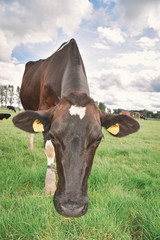Wall Mural - View of a curious cow on a pasture
