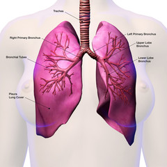 Lungs Labeled