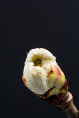 Chestnut bud with fine details isolated on black background