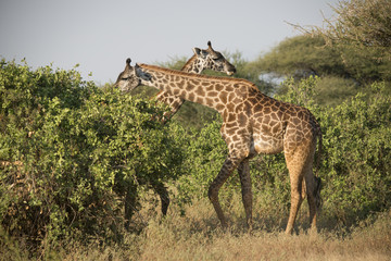 Two Pretty Giraffes, Lake Manyara, Africa