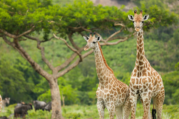 Two Giraffes and an Acacia Tree
