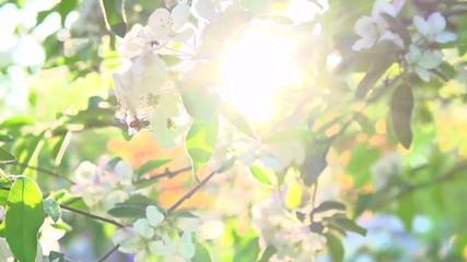 Fotoväggar - Apple tree blooming in spring orchard. Spring scene. Sunflare. Slow motion 240 fps. High Speed camera shot 1080p