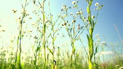 Fotoväggar - Wildflowers Camomile plants in a field at sunset, Meadow. Slow motion 240 fps, high speed camera. Full HD 1080p video footage