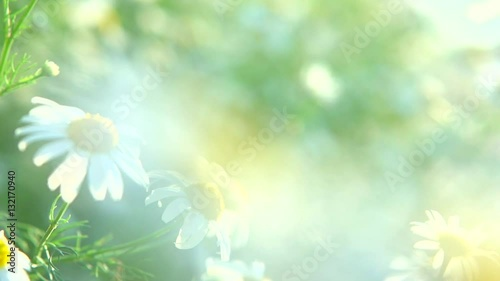 Wall mural Chamomile Daisy flowers. Beautiful nature scene with blooming medical chamomilles in sun flare. Sunny day. Summer flowers. Summer camomille background. Springtime. Slow motion. Full HD 1080p