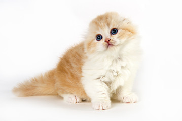 Cute thoughtful kitten yellow and white stand up in a white background