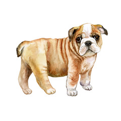 Watercolor English bulldog puppy isolated on whit background. Close up portrait of British bulldog breed dog with wrinkled skin. Cute little puppy. Hand drawn sweet home pet. Greeting card design