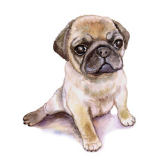 Watercolor closeup portrait of chinese wrinkled pug dog puppy isolated on white background. shorthair toy dog. Hand drawn sweet home pet. Popular small breed dog. Greeting card design. Clip art