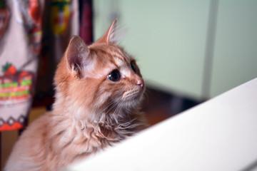 Рыжий котенок хочет залезть на кухонный стол