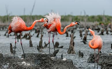 American Flamingos or Caribbean flamingos ( Phoenicopterus ruber ruber). Colony of Flamingo on the  nests. Rio Maximo, Camaguey, Cuba.