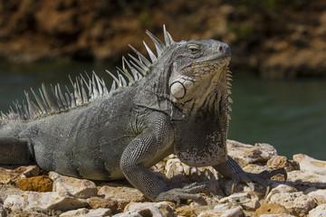 Smug Iguana