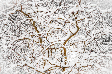 Winter willow branches
