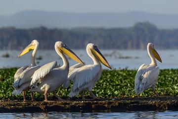 Great white pelican (also known as the eastern white pelican, rosy pelican or white pelican) (Pelecanus onocrotalus). Lake Naivasha. Naivasha. Great Rift Valley. Kenya