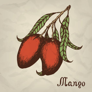 Branch with mango hand drawn vintage style. Vector illustration