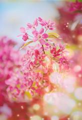 flowering trees cherry, red Apple.
