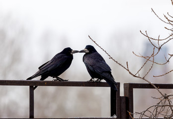 Ravens sitting on a fence on a city street