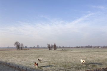 red and white cows in wintry meadow in floodplains of river Lek