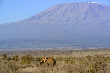 African bush elephant or African Elephant (Loxodonta africana) with Mount (Mt) Kilimanjaro (in Tanzania). Satao Elerai Conservancy. Near Amboseli National Park. Kenya.