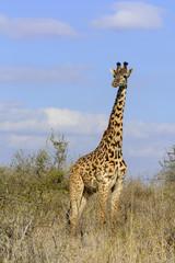Masai giraffe also spelled Maasai giraffe, also called Kilimanjaro giraffe (Giraffa tippelskirchi). Satao Elerai Conservancy. Near Amboseli National Park. Kenya.