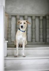 White beige dog sitting on stairs waiting
