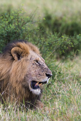 Lion (Panthera leo). Serengeti National Park. Tanzania