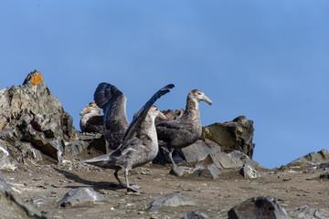 Giant Antarctic Petrel, macronectes giganteus