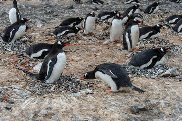 Gentoo penguin with chicks