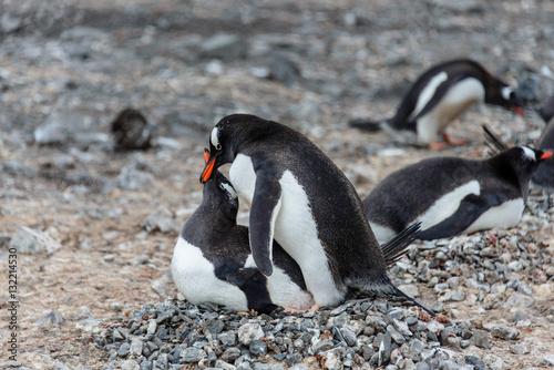 Do Penguins Have Sex 114
