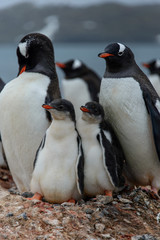 Gentoo penguine with chicks