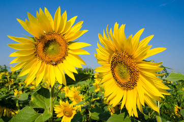 Field of yellow sunflowers on one of which sits a bee and blue s