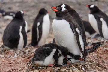 Gentoo penguine with chicks