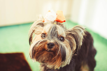 small dog with a bow