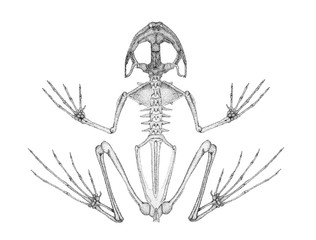 Skeleton of a frog. Drawing. Technical pen.