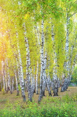 Birch grove and sunlight. Early autumn in the park.
