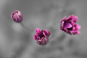 Margarita Flowers trio magenta