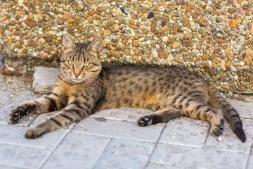 Young Bengali Cat. Prionailurus bengalensis