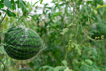 Watermelon growing in a greenhouse in organic farm Thailand.