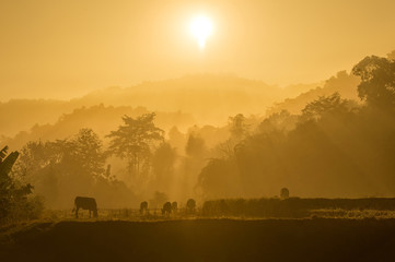 Fotobehang Los Angeles cows on misty pasture at sunrise in summer