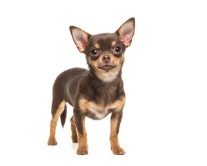 Pretty brown standing chihuahua