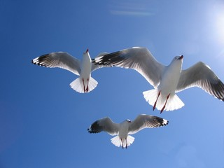 Three Beautiful Seagulls in Full Flight Overhead.