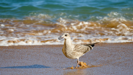 Seagull running closeup at the beach