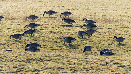 Flock of Canada geese (Branta canadensis) grazing in field. Large black and white birds in the family Anatidae feeding on pasture over winter in Somerset, UK