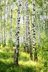 summer in sunny birch forest