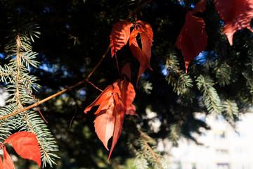 Autumn colorful leaves. Slovakia
